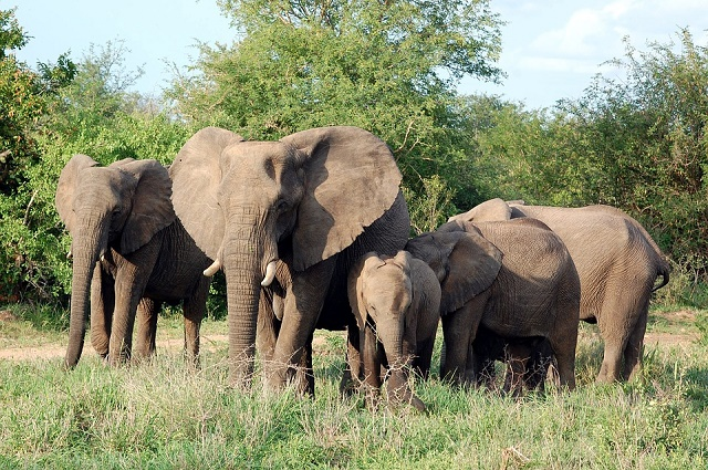 HAUT-LOMAMI: 33 000 ménages fuient des éléphants en divagation