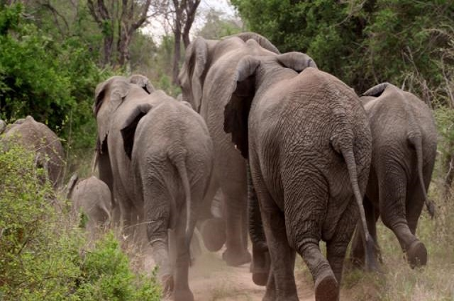 Haut Lomami :Des éléphants  font 4 victimes dont deux morts