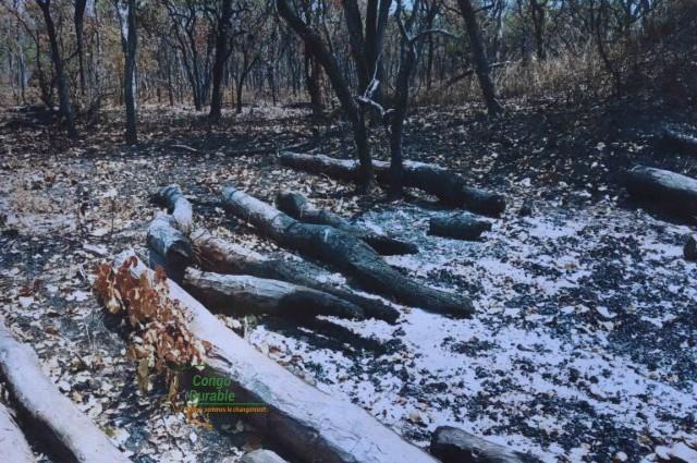 Haut-Katanga : les forêts communautaires vont-elles sauver le bois rouge de l'extinction ?