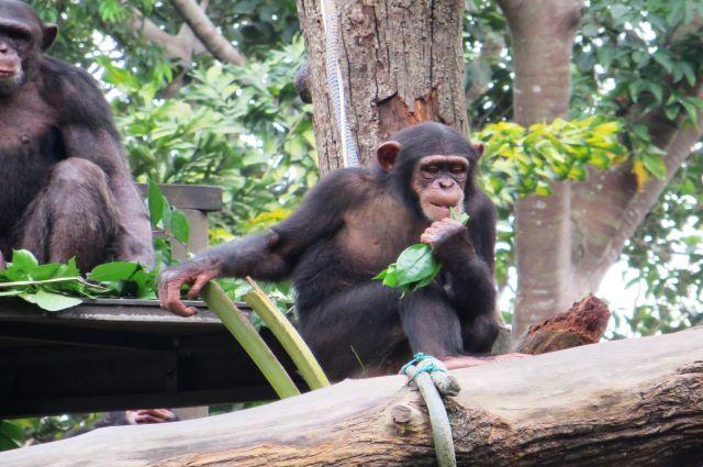 Haut-Katanga:l'affaire de 32 Chimpanzés saisis au Zimbabwe, soulève des questions sur la fraude aux frontières