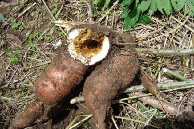 Haut Katanga: une épidémie inconnue ravage les champs de manioc à Pweto